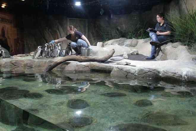 A Magelenic Penquin Feeding