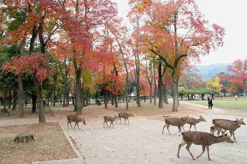 Silka Deer in Nara Japan